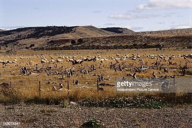Domestic sheep with deforested hillsides in the background Chile