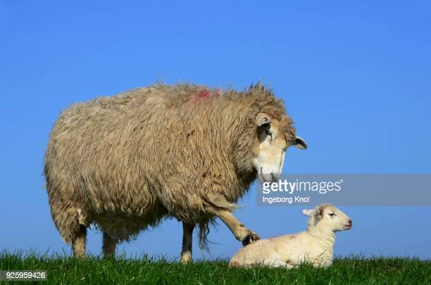 Domestic sheep (Ovis aries gmelini) with lamb, Westerhever, California, Germany