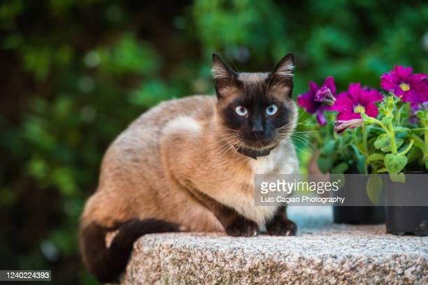 domestic siamese cat - siamese cat stock pictures, royalty-free photos & images