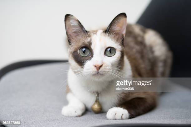 domestic siamese cat play in front of house