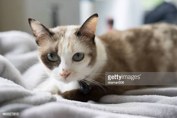 domestic siamese cat play in front of house - siamese cat stock pictures, royalty-free photos & images