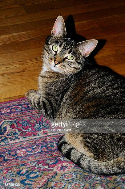 Domestic tabby cat looking up.