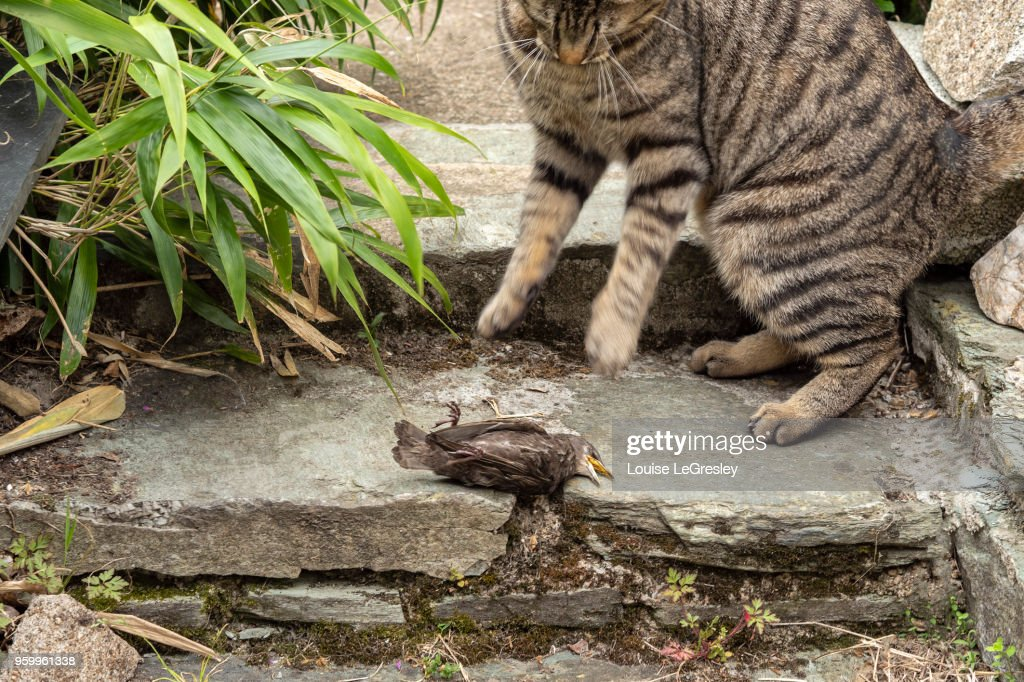 Domestic tabby cat playing with dead bird : Stock-Foto
