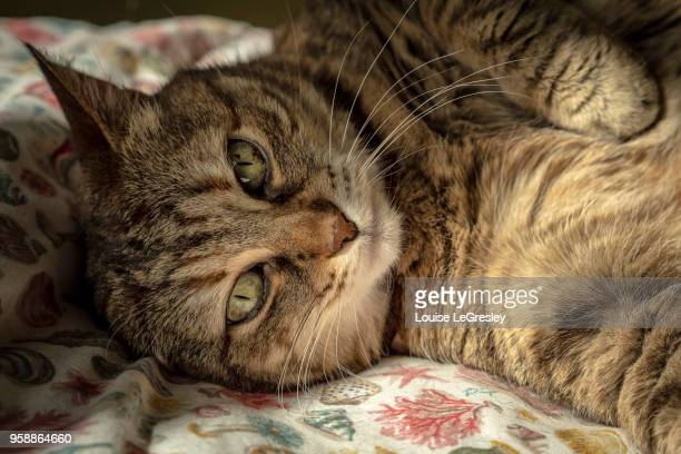 tabby cat looking directly at camera
