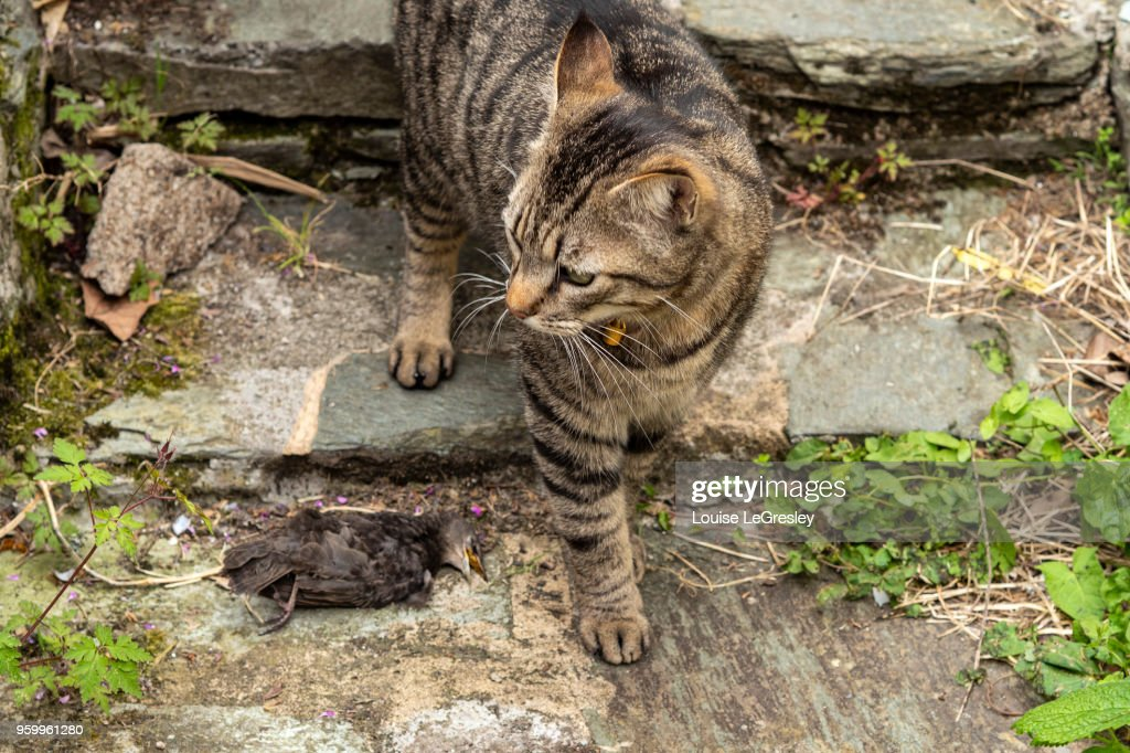 Domestic tabby cat with a bird it has just killed : Stock-Foto