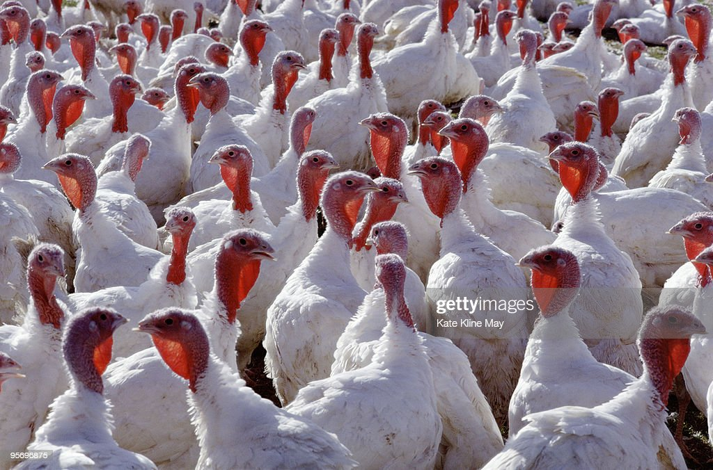 Domestic turkeys : Stockfoto