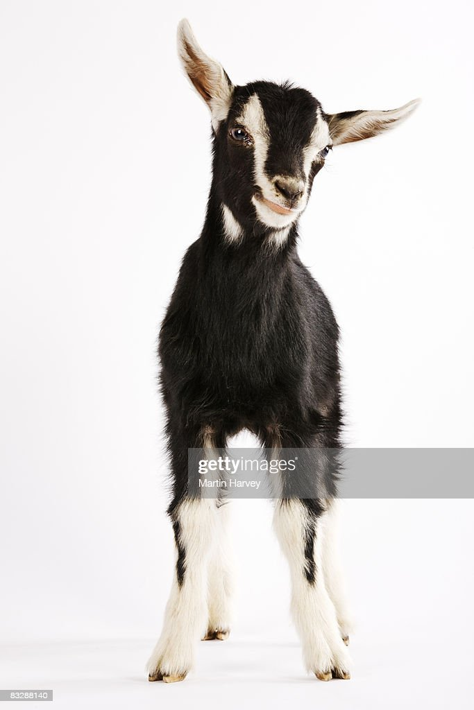 Domesticated British Alpine Goat Stock Photo - Getty Images