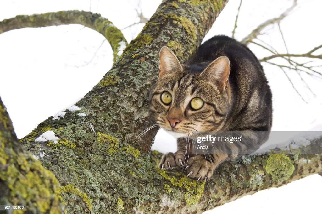 Domesticated cat on a branch covered in snow in winter, chasing a prey.