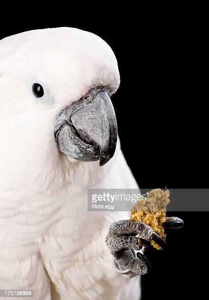 Domesticated Cockatoo