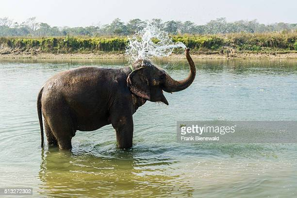 Domesticated elephant is standing in a shallow river, having a shower.
