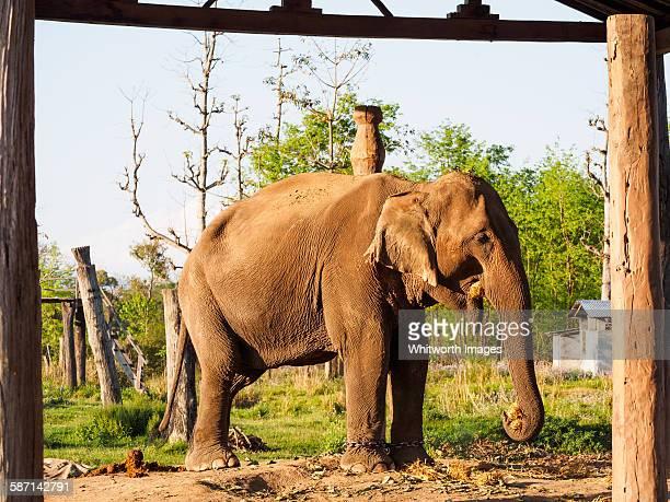 Domesticated female Asian elephant, Nepal