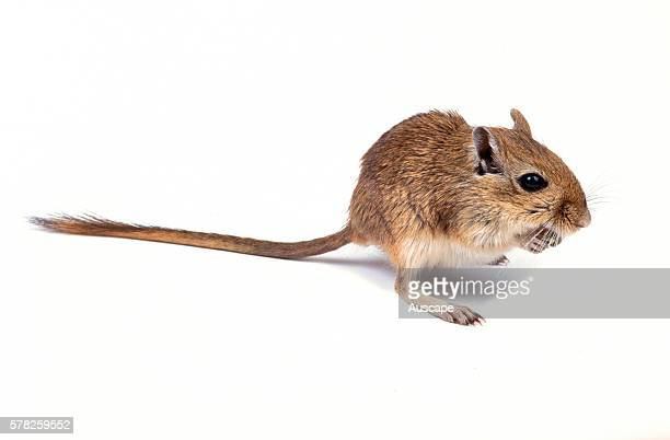 Domesticated gerbil Meriones unguiculatus crouched on hind legs Grows to about 12 cm Native to Mongolia