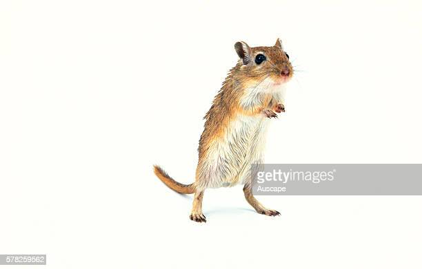 Domesticated gerbil Meriones unguiculatus standing Grows to about 12 cm Native to Mongolia