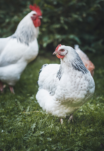 Domesticated Sussex chickens graze freely on the garden lawn. Close - up. 1271875007