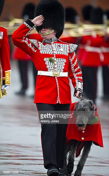 Domhnall is a 8 month old Irish Wolfhound the 16th Regimental Mascot to 1st Battalion Irish Guards attends the Irish Guards' St Patrick's Day Parade...