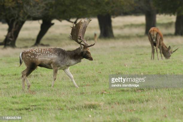 a dominant fallow deer stag, dama dama, walking across a field during rutting season. - manly wilder stock-fotos und bilder