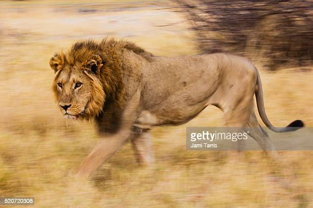 a dominant male lion standing in golden savannah grass - male animal stock pictures, royalty-free photos & images