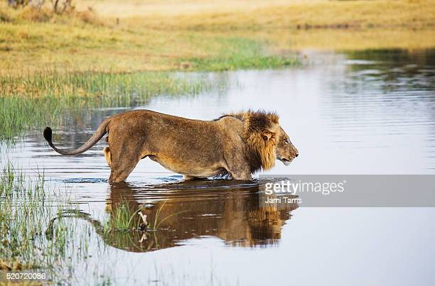 A dominant male lion walking into the water of a river to cross