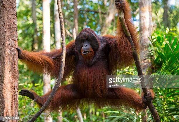Dominant male Orang Utan in the jungle, wildlife shot