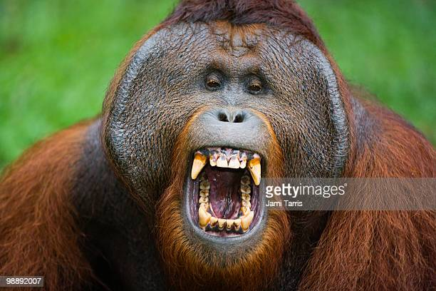 A dominant male orangutan
