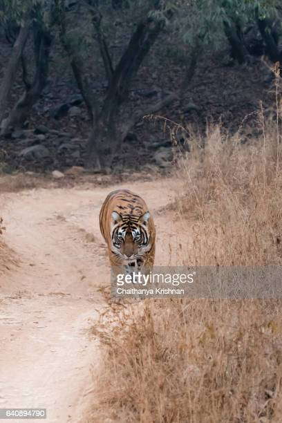 Dominant Tigress Noor, walking on the forest tracks of Ranthambore National Park, photographed during morning safari