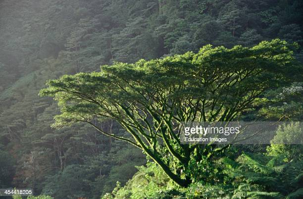Dominica Single Tree In Tropical Rainforest