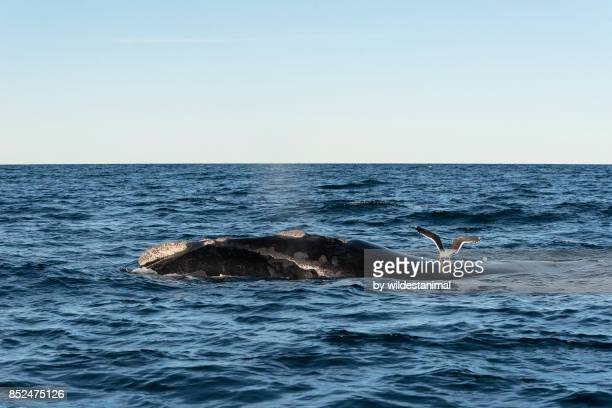a dominican gull feeds on the skin of a southern right whale as it comes up to breath, nuevo gulf, valdes peninsula, argentina. - duroni foto e immagini stock