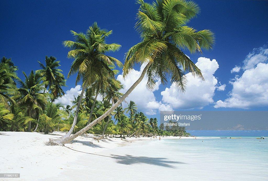 Dominican Republic, Saona Island, Palm trees on beach : Photo
