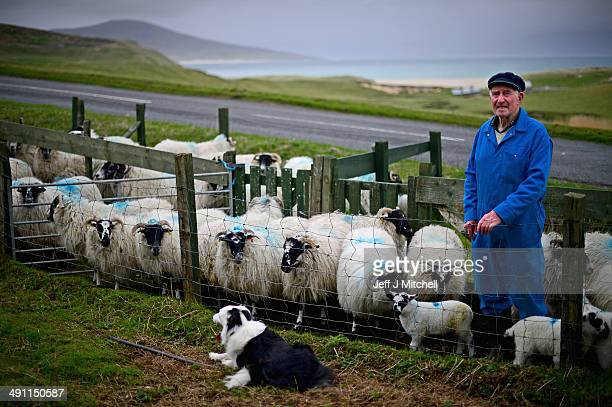 Donald John Macdonald tends his sheep on May 15, 2014 in Harris, Scotland. The Isles of Lewis and Harris lie in the Outer Hebrides and make up the...