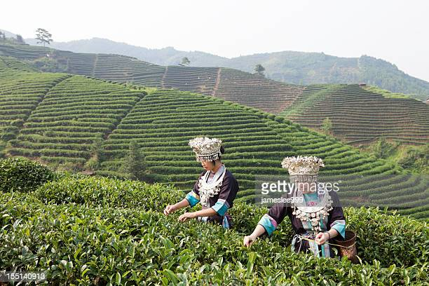 dong tribe tea pickers - dong tribe stock pictures, royalty-free photos & images