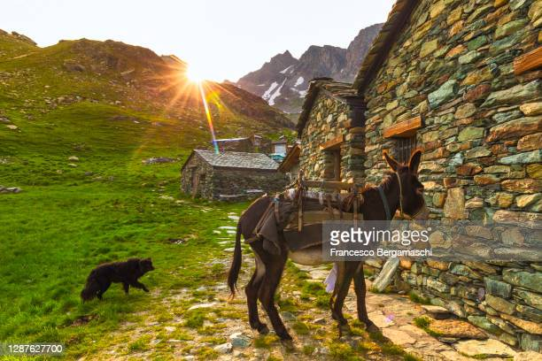 donkey and black dog in the mountain pasture at sunset. - italia ストックフォトと画像