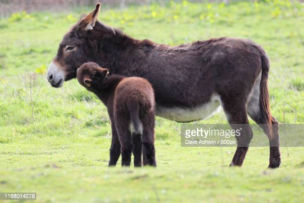 donkey and foal - dave ashwin stock pictures, royalty-free photos & images