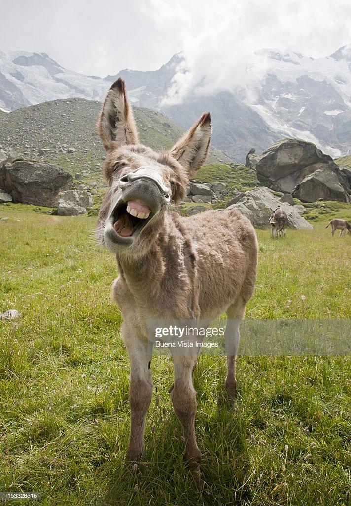 donkey braying : Stock Photo