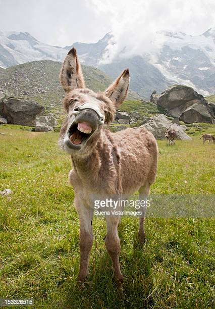 donkey braying - donkey stock pictures, royalty-free photos & images