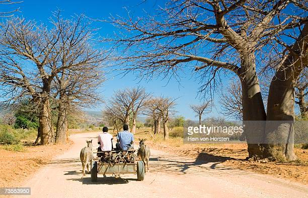 donkey cart on road with baobab trees - animal powered vehicle stock photos and pictures