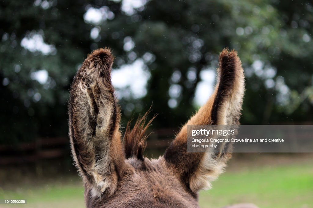 Donkey Ears : Stock Photo