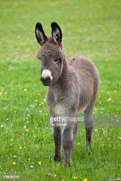 Donkey foal in Connemara County Galway Ireland