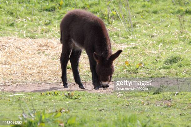 donkey foal - dave ashwin stock pictures, royalty-free photos & images