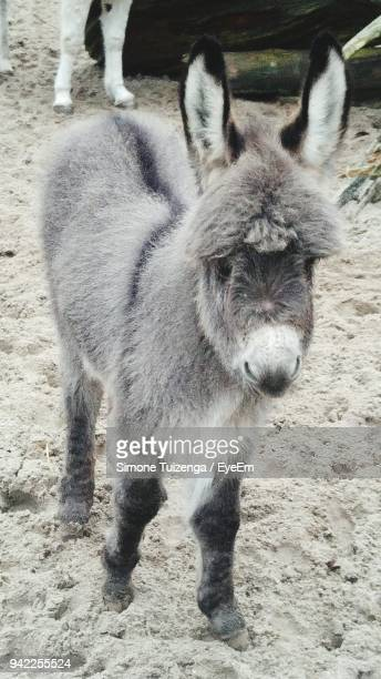 Donkey Foal Standing On Land