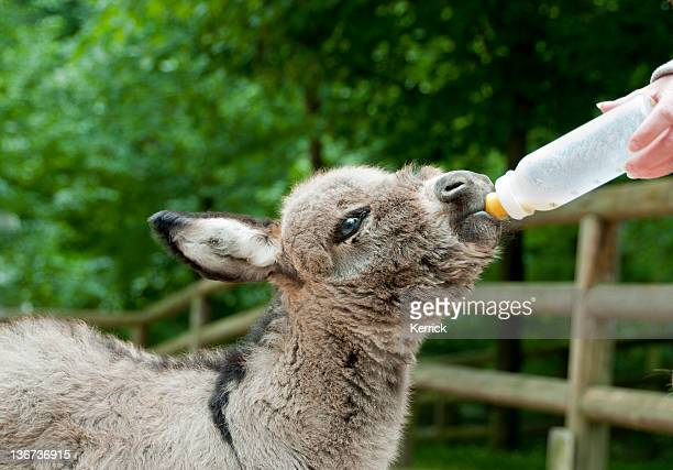 Donkey foal with milkbottle - 7 days old