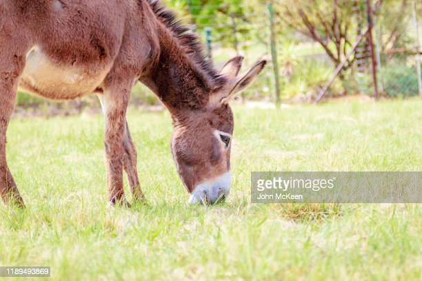 donkey grazing - hairy bum stock pictures, royalty-free photos & images