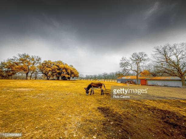 donkey grazing - rob castro stock pictures, royalty-free photos & images