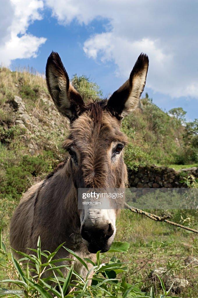 Donkey head : Stock Photo