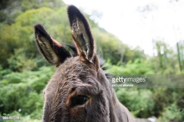 A donkey in a field near Naggio Italy 19 September 2017 Photo Lino Mirgeler/dpa
