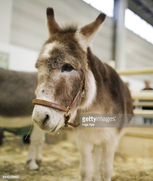 A donkey in a stable on February 06 2017 in Berlin Germany