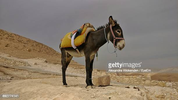 donkey in desert against sky - donkey stock pictures, royalty-free photos & images