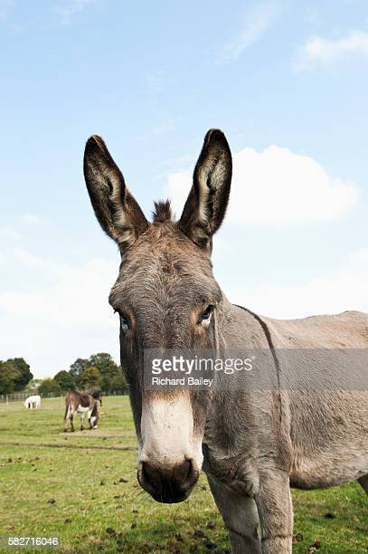 donkey in field - donkey stock pictures, royalty-free photos & images