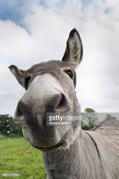 donkey in field - 突き出た鼻 ストックフォトと画像