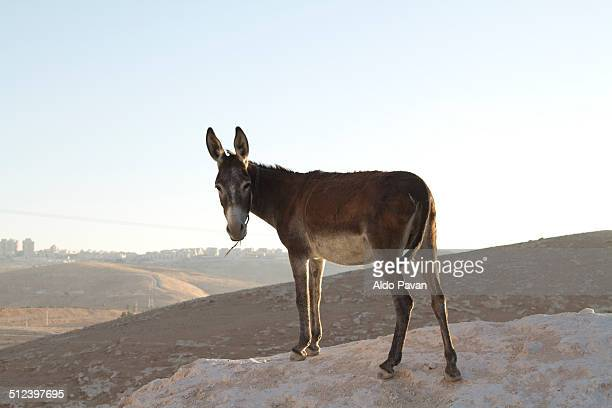 donkey in tabana bedouin camp - palestinian stock pictures, royalty-free photos & images
