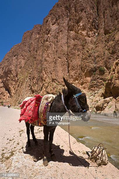 Donkey in the Todra Gorge, Dades Valley, High Atlas Mountains, Morocco